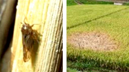 トビイロウンカ(長翅型成虫)・トビイロウンカによる「坪枯れ」被害