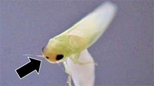 成虫の頭頂部の特徴=黒点