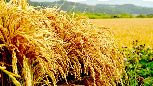 令和2年産米 1等74.3%-8月31日現在 農水省