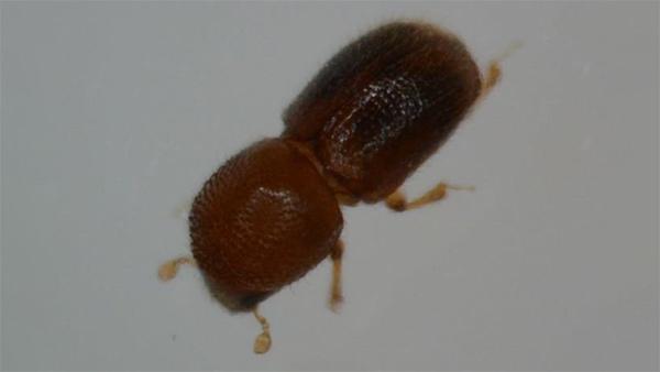 シイノコキクイムシ成虫 (体長約1.7mm)