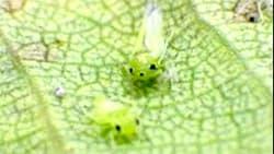 葉裏に寄生するSingapora shinshana