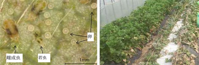 ナミハダニ黄緑型の成虫・若虫・卵(左)、ナミハダニが多発生したイチゴ