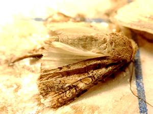 フェロモントラップで捕獲された雄成虫