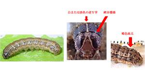 ツマジロクサヨトウ幼虫(体長約40mm)左から外観、頭部正面の特長、腹部後方の特長