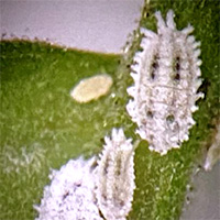 「クロテンコナカイガラムシ」雌成虫と幼虫
