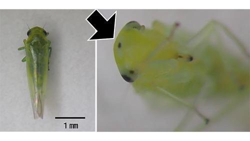 ウメシロヒメヨコバイ成虫(体長3~3.5mm) (左)、成虫の頭部(頭頂部の黒点)