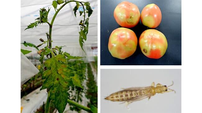 トマトで初めてキク茎えそウイルスの病害発生 宮城県
