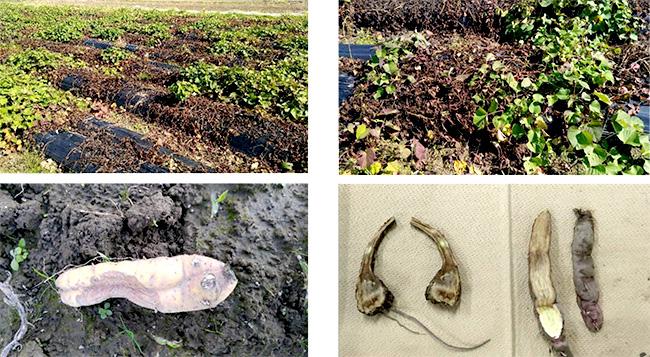 サツマイモ基腐病を県内で初確認 福岡県