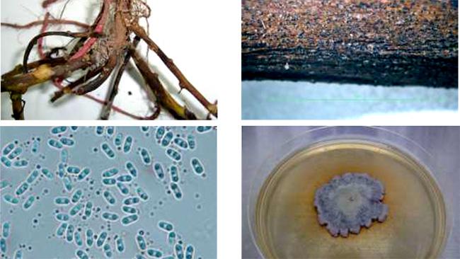 地際部の茎の被害症状、被害茎に形成された分生子殻、D.destruensの分生子、PDA培地上に形成された菌叢