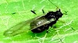 コギクのアブラムシ類発生で注意喚起 沖縄県