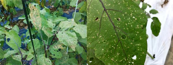 ナスの被害葉(左)、トマトの被害葉