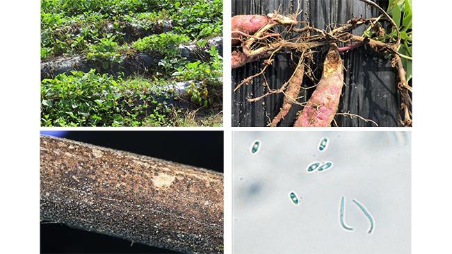 県内でサツマイモ基腐病を初めて確認 長崎県