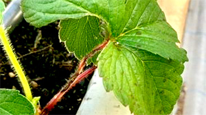 イチゴの炭疽病多発で注意報 静岡県