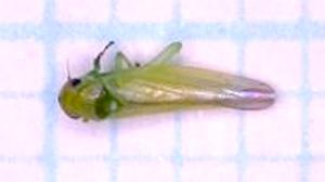 ウメ、モモにヨコバイ科の一種が発生 岡山県