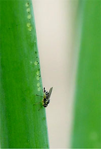 従来から発生しているネギハモグリバエ成虫A系統