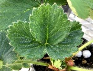 ハダニの吸汁で白いカスリ状の斑点が生じた葉