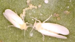 媒介虫のタバココナジラミ成虫