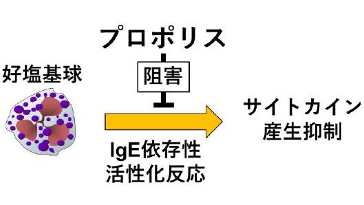 プロポリスのIgE依存性好塩基球サイトカイン産生に対する抑制機構の概略図