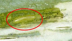 潜行痕内の幼虫