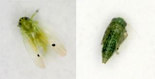 フタテンミドリヒメヨコバイの成虫・終齢幼虫