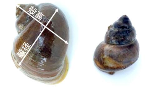 スクミリンゴガイ(左)と在来タニシ(右)