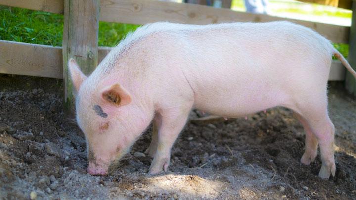 山形県で豚熱(CSF)を確認 国内60例目-農水省