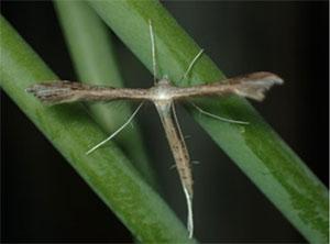 キキョウトリバの成虫