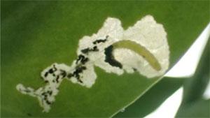 葉肉内に潜行して食害する幼虫