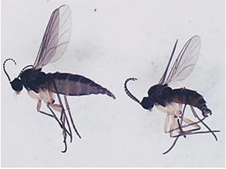 チバクロバネキノコバエ成虫(左:メス、右:オス)