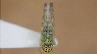 Eupteryx decemnotata成虫