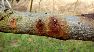 主幹から樹液様物が流出した状況