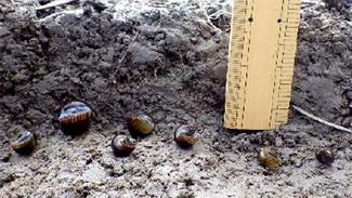 厳寒期にジャンボタニシの防除対策を 香川県