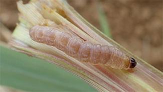 イネヨトウの幼虫