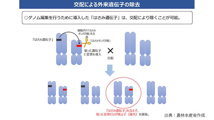 【ゲノム編集技術を知る】ハサミを作るため遺伝子組換えを利用?