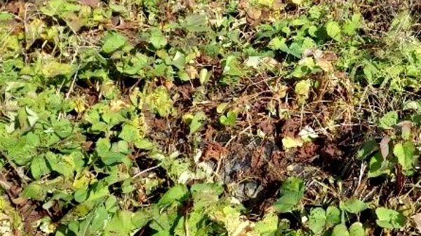 発生ほ場での茎葉の枯死