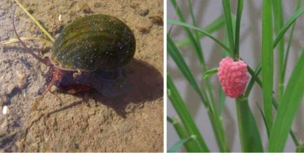 ジャンボタニシ(左)と卵塊