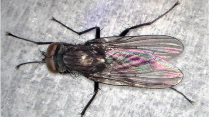 ハコベハナバエの成虫