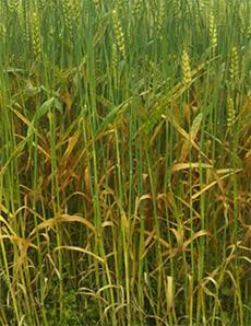 病斑が上位葉まで進展した出穂後の小麦