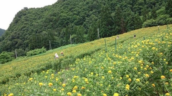 最上川流域の紅花システム