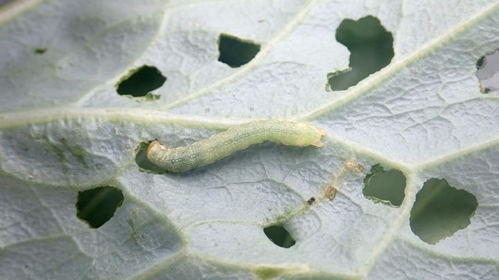 ヨトウガ幼虫(写真提供:東京都病害虫防除所)