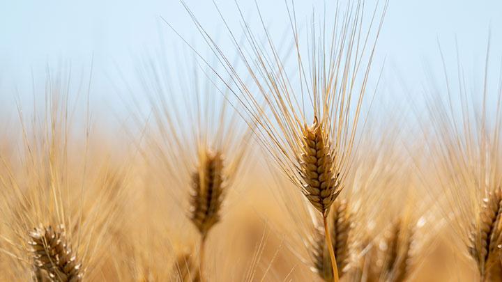 2021年国産麦 供給過剰に-麦の需給見通し