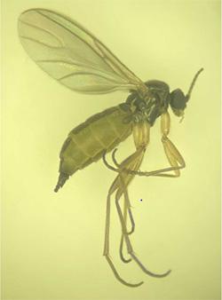 チバクロバネキノコバエの成虫(雌)