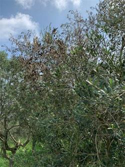 葉枯れ、果実の萎凋症状