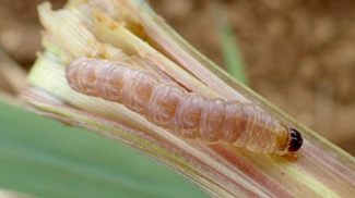 イネヨトウ幼虫