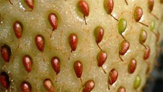 アザミウマ類による被害果実