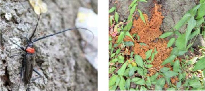 クビアカツヤカミキリ成虫(左)、うどん状のフラス
