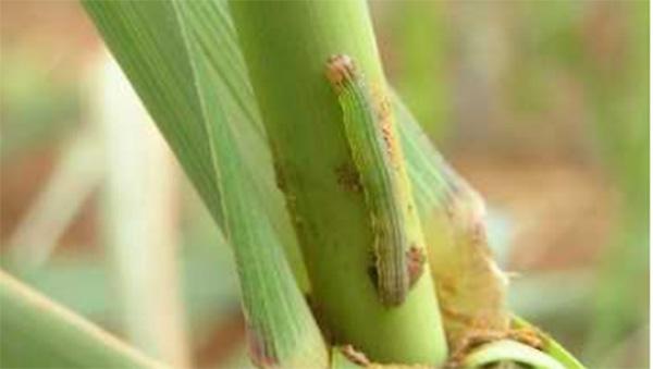 アワヨトウの若齢幼虫
