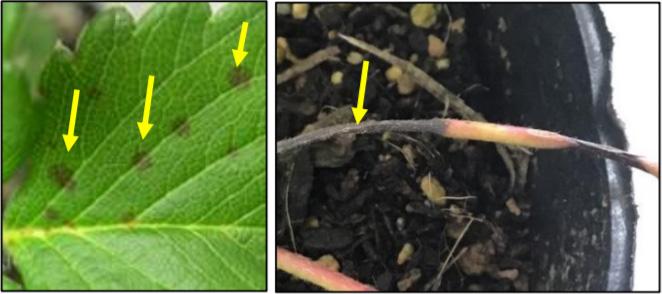 葉の汚斑状病斑 (左)、ランナーの黒色病斑