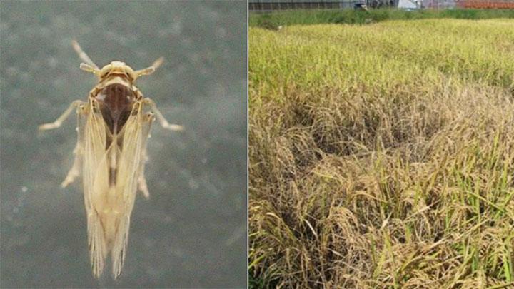 トビイロウンカ(長翅型・オス)(左)、昨年10月のトビイロウンカによる坪枯れ被害