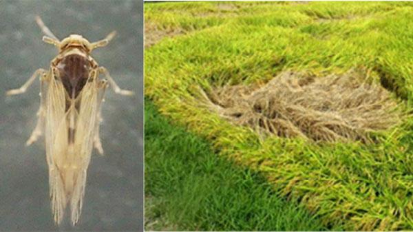 トビイロウンカ(長翅型・オス、写真提供:大阪府病害虫防除グループ)(左) トビイロウンカによる収穫期の坪枯れ被害(写真提供:静岡県病害虫防除所)